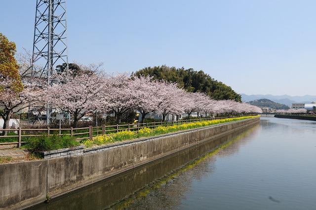 北九州市八幡西区則松、金山川の桜